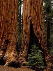 Sequoia National Park von Danita Delimont