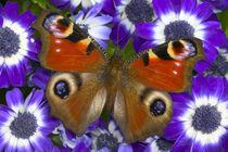 Inachis io the Peacock Butterfly von Danita Delimont