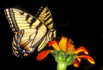 Detail of a captive western tiger swallowtail butterfly feeding on flower von Danita Delimont