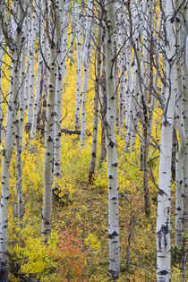 Aspen grove in peak fall color in Glacier National Park in Montana von Danita Delimont