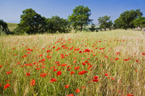 Meadow with Summer Poppies and Oak Trees in Tuscany by Danita Delimont