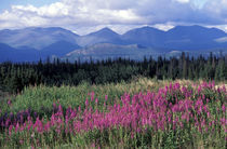 Fireweed blooms near Kluane National park by Danita Delimont