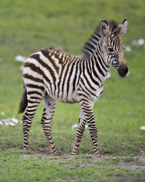 Zebra colt at Ngorongoro Crater in the Ngorongoro Conservation Area by Danita Delimont