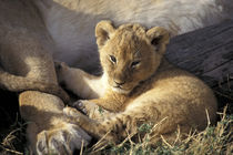 Six week old Lion cub (Panthera leo) by Danita Delimont