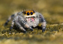Close-up of jumping spider by Danita Delimont