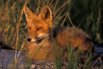 Vulpes vulpes (red fox) resting by Danita Delimont