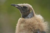 Close-up profile of molting king penguin chick or oakum boy von Danita Delimont