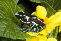 Close-up of poison dart frog on plants von Danita Delimont