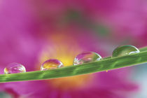 Image of asters formed in water droplets von Danita Delimont