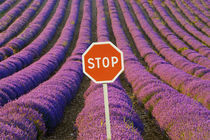 Rows of lavender and stop sign by Danita Delimont