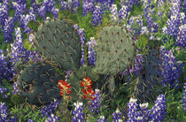 Cactus surrounded by Bluebonnets by Danita Delimont
