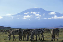 Herd of Plains Zebra (Equus burchelli) feeding in savanna near foot of Mount Kilimanjaro by Danita Delimont