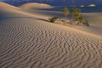 Mesquite Flats sand dunes with flowering creosotebush von Danita Delimont