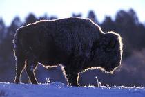 Bison (Bison bison) von Danita Delimont