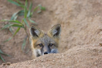 Shy red fox kit near den site by Danita Delimont