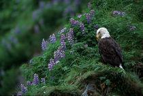 Unalaska Island Bald Eagle among Nootka Lupine (Haliaeetus leucocephalus) by Danita Delimont