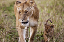 Female Lion with cub (Panthera Leo) as seen in the Masai Mara by Danita Delimont