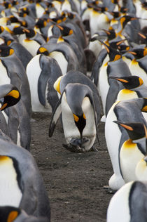 King penguin (Aptenodytes patagonicus) with new chick von Danita Delimont