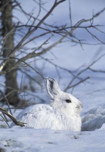 Snowshoe hare by Danita Delimont