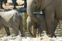 Elephants (Loxodonta africana) and calf at watering hole von Danita Delimont