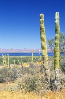 Cardon Cactus (Pachycereus pringlei) by Danita Delimont