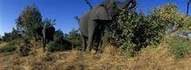Elephants (Loxodonta africana) feeding in acacia trees near banks of Chobe River by Danita Delimont