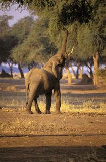 Elephant (Loxodonta africana) by Danita Delimont