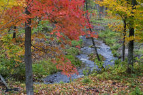 Coles Creek lined with autumn maple trees near Houghton in the UP of Michigan von Danita Delimont