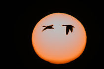 Two snow geese in flight against pinkish sun by Danita Delimont