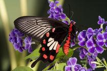 Papilio polytes romulus von Danita Delimont
