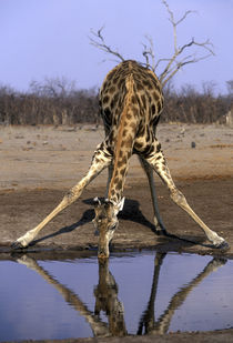 Giraffe (Giraffa camelopardalis) drinking at water hole in Savuti Marsh by Danita Delimont