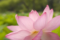 Closeup of pink lotus by Danita Delimont