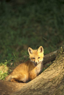 Red Fox pup in front of den (Vulpes vulpes) by Danita Delimont