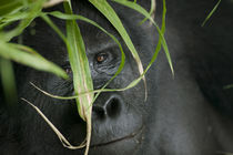 Adult Mountain Gorilla (Gorilla gorilla beringei) in rainforest von Danita Delimont