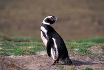 Magellanic Penguin by Danita Delimont