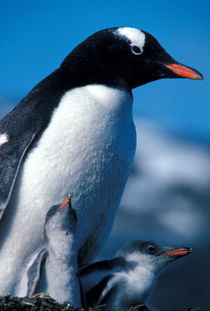 Gentoo Penguin with chicks von Danita Delimont