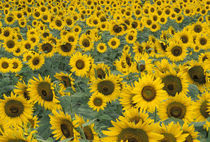 Kentucky Pattern in field of cultivated sunflowers von Danita Delimont