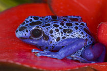Close-up of poison dart frog on red leaf von Danita Delimont