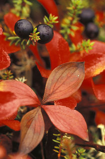 Bearberry (Arctostaphylos Uvaursi) and dark crowberries by Danita Delimont