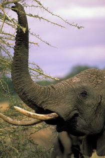 Loxodonta africana von Danita Delimont