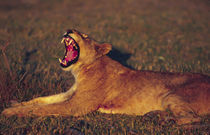 Lioness (Panthera leo) yawning in early morning light by Danita Delimont
