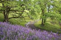 Dirt road winds past lupine flowers and oak trees von Danita Delimont