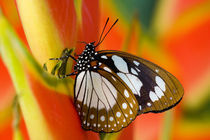 Sammamish Washington Tropical Butterflies photograph Euxanthe wakefieldi the Forest Queen Butterfly on Heliconus flower by Danita Delimont
