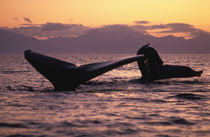 Inside Passage Humpback whales (Megaptera novaengliae) at sunset by Danita Delimont