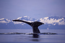 Inside Passage Humpback whale (Megaptera novaengliae) by Danita Delimont