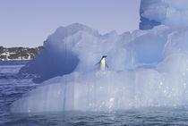 Antarctica Penguin; Adelie on ice floe von Danita Delimont