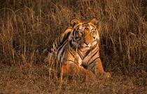 Tiger (Panthera tigris) von Danita Delimont