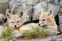 Patagonia Fox by Danita Delimont
