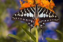 Sammamish Washington Tropical Butterflies photograph of Graphium antheus the Large Striped Swordtail Butterfly on small orange Orchid by Danita Delimont