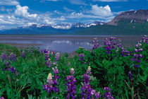 Alaska Arctic Lupin - Lupinus arcticus by Danita Delimont